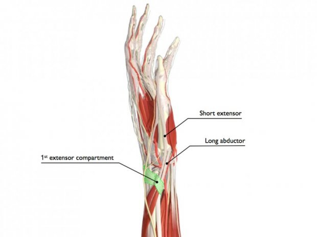 Tunnel anatomy (green, 1st extensor compartment) and tendons extensor pollicis brevis (EPB) and abductor pollicis longus (EPL)