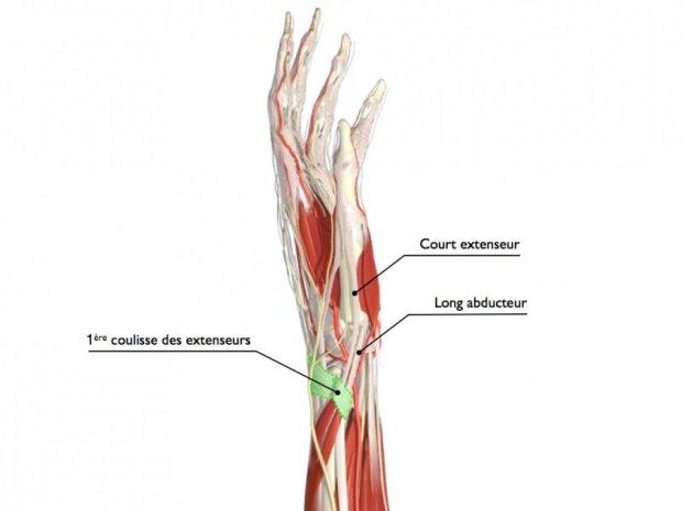 Anatomie du tunnel (en vert, 1er compartiment des extenseurs) et des tendons court extenseur (EPB) et long abducteur du pouce (EPL)