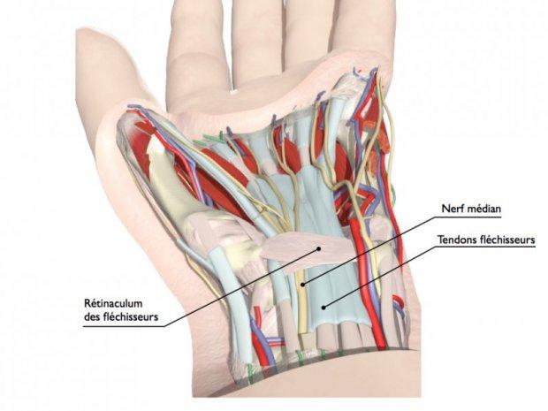 Anatomie du canal carpien : nerf médian passant en dessous du rétinaculum des fléchisseurs (= toit du tunnel)