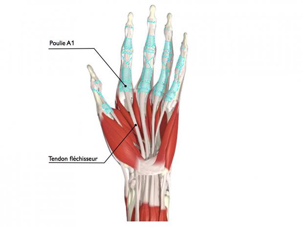 Anatomie du système des poulies (en bleu) et des tendons fléchisseurs des doigts