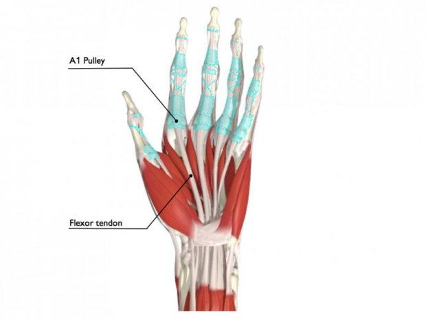 Anatomy of pulleys (blue) and flexor tendons