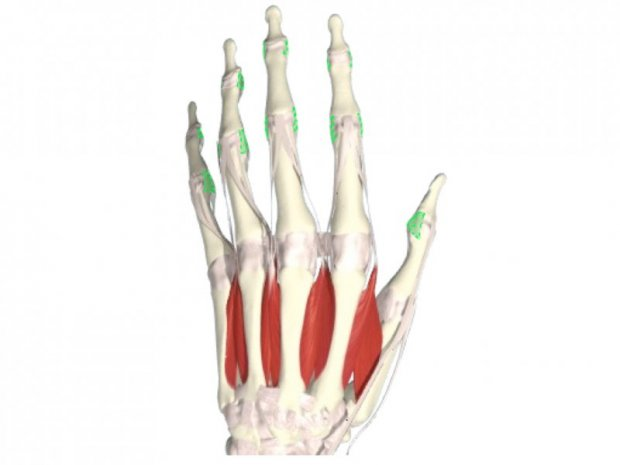 Collateral ligaments of the fingers and thumb (green)