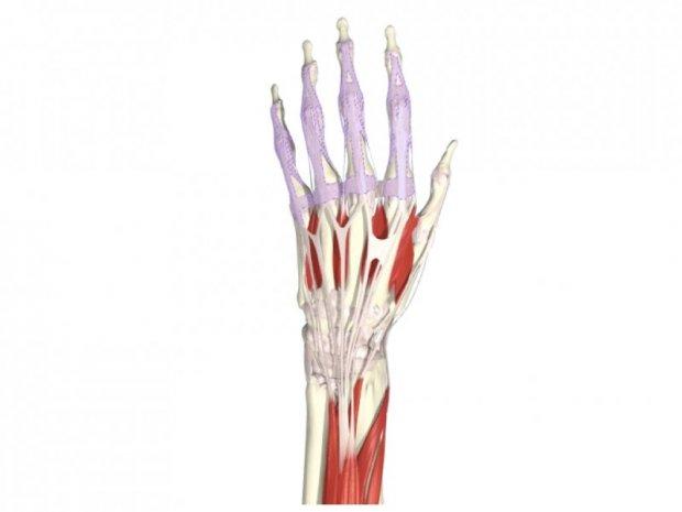 Anatomie du système des tendons extenseurs des doigts