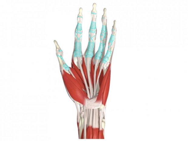 Anatomie du système des tendons fléchisseurs des doigts